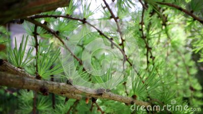 Sliding through the japanese larch tree branches stock video footage