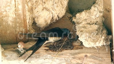 Slik nestelt zijn nest met zijn bek stock videobeelden