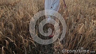 Slim female legs walking in ripe wheat field stock video