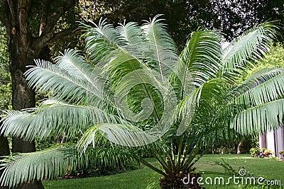 Slingerende Palmbladen