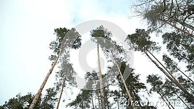 Slingerende pijnboom stock video