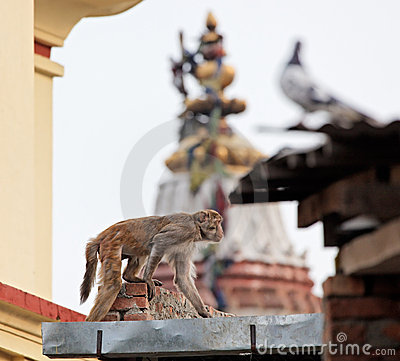 Slink monkey on the wall in Swayambhunath