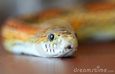 A Slithering Orange and Yellow Corn Snake