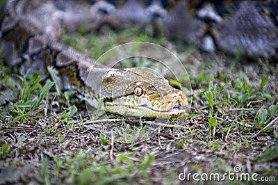 Slithering Snake