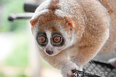 Slow loris monkey