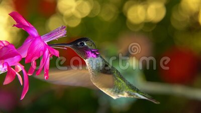 Slow motion female hummingbird taking off and chasing male away from flower. A slow motion footage of a female hummingbird taking off and chasing the male away stock footage