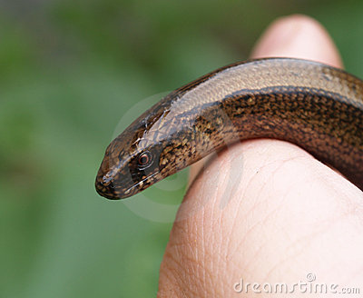 Slow-worm in hand