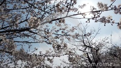 Slowmotion walking under Sakura tree with sunlight shining through. stock video footage