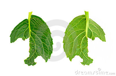 Slug damage of Hydrangea macrophylla leaf