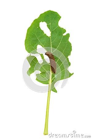 Free Slug Damage Of Green Kohlrabi Leaf Royalty Free Stock Photos - 32457548