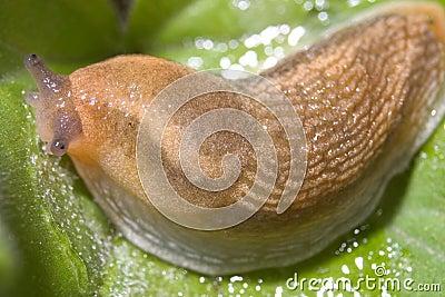 Slug, Dusky Arion