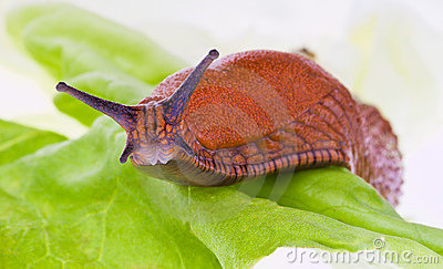 Slug on lettuce leaf