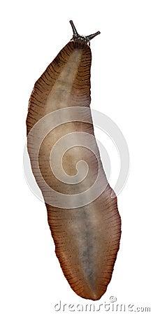 Slug vermelho, rufus do Arion