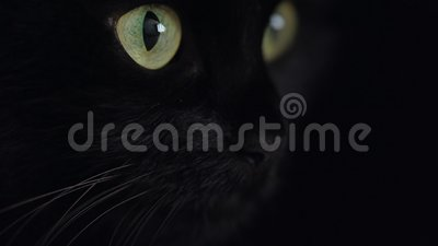 Sluit het portret van een zwarte fluffy kat met groene ogen. Halloween-symbool stock video