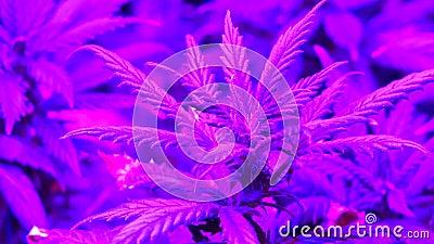 Sluit Schot van het Kweken van Marihuana stock video