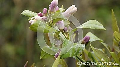 Sluiting van bloesem-citroenbloemen stock videobeelden