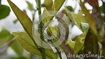 Sluiting van citroenbladeren met regendruppels stock videobeelden