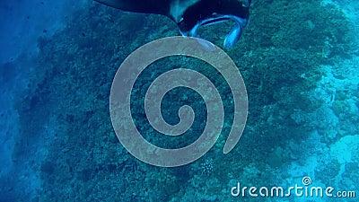 Sluiting van een manta straal stock footage