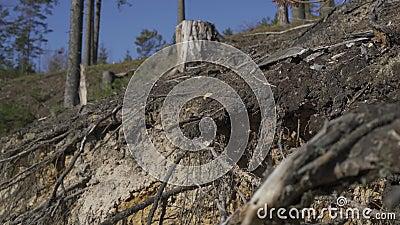Sluiting van sparren Roots en zandgrond stock video
