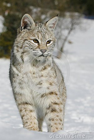 Slut upp av en wild bobcat