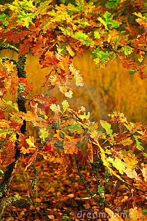 Small autumn oak tree