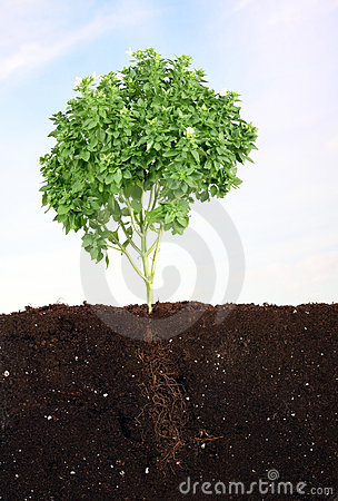 Small basil in soil sky as background