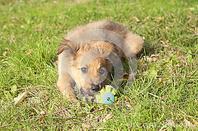 Small Basque shepherd puppy lying on the floor with a ball