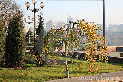 Small birch tree in a city park