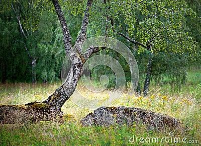Birch tree in summer