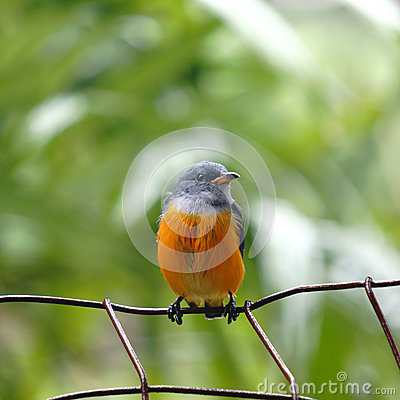 Free Small Bird Royalty Free Stock Photography - 26705597