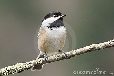 Small Bird Chickadee