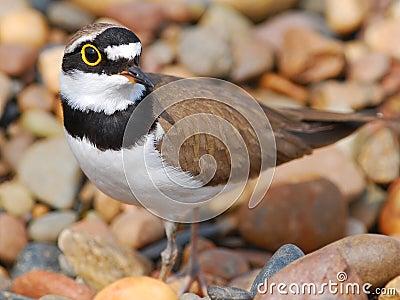 Small bird Little Ringed Plover