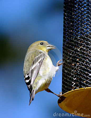 Free Small Bird  On A Feeder Stock Photos - 11363933