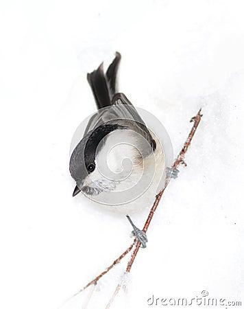 Small birdy on snow
