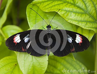 Small Black Butterfly