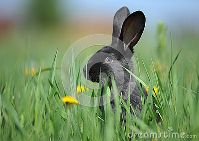 Small Black Rabbit