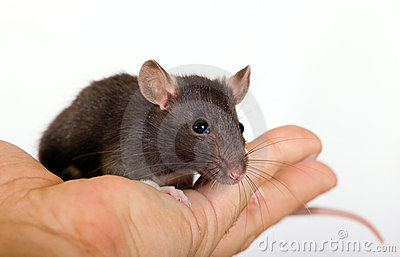 Small black rat
