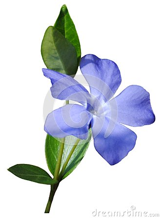 Free Small Blue Flower Stock Photography - 112148262
