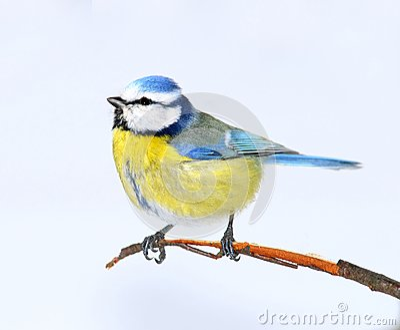 Small bright birdie