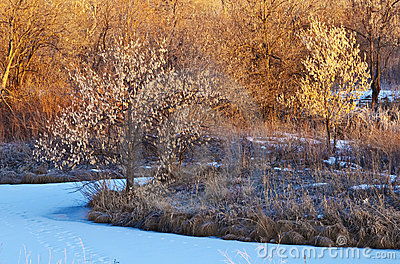 Small Bright Trees in Early Sunlight in Winter