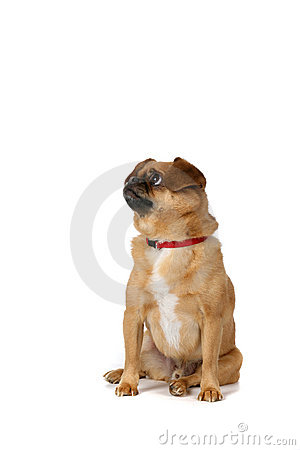 Small brown dog with folded over ears