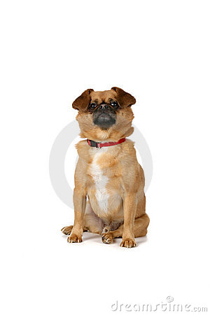 Small brown dog sitting on white background