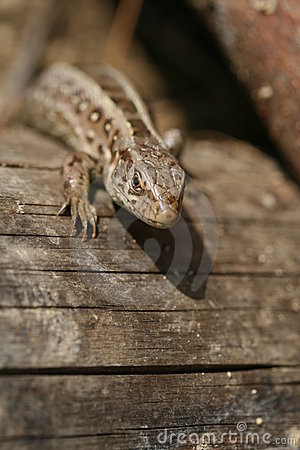 Small brown lizard