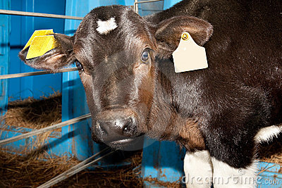 Small bull calf with surprised look
