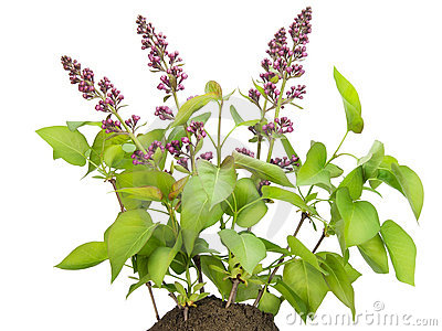 Small bush of the Lilac with buds on a bed