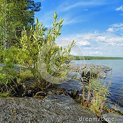Small bush on the stony shore of Lake Ladoga