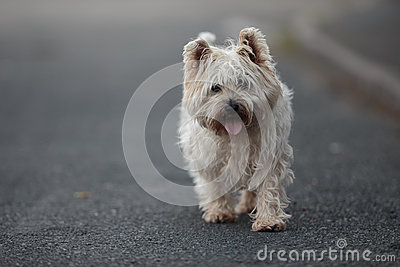 Small Cairn Terrier Dog Walking on ROad