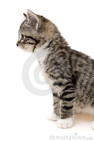 Free Small Cat Royalty Free Stock Image - 8301606