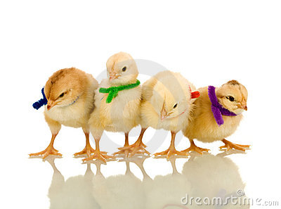 Small chickens with colorful scarves