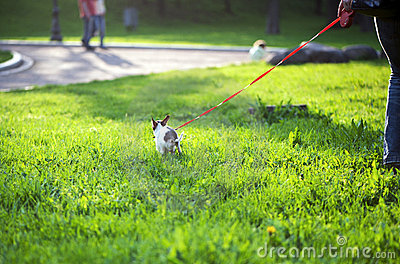 Small chihuahua dog doing its business for a walk